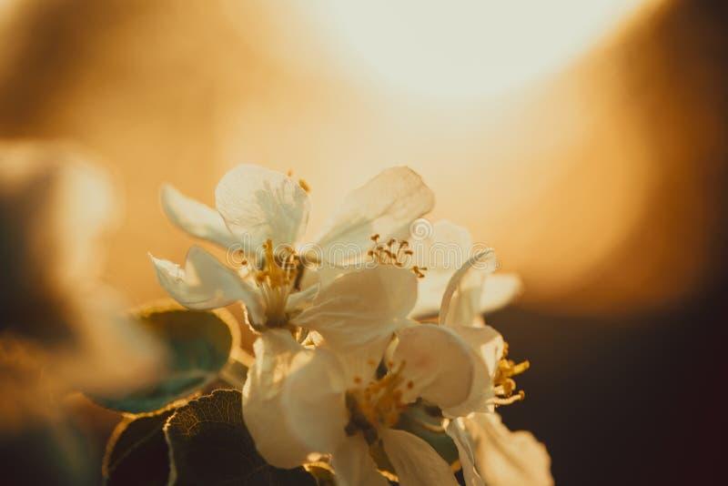 Manzanos florecientes hermosos en primavera en un d?a soleado imagen de archivo