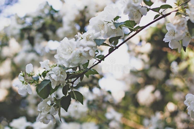 Manzanos florecientes hermosos fondo con las flores florecientes en d?a de primavera Foco selectivo tono de estilo del vintage imagenes de archivo