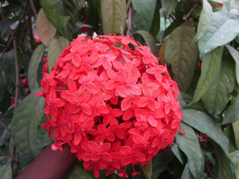 Manzhari rosso del fiore fotografia stock