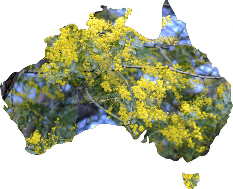 Map of Australia with wattle tree in flower. The national floral emblem of Australia stock image