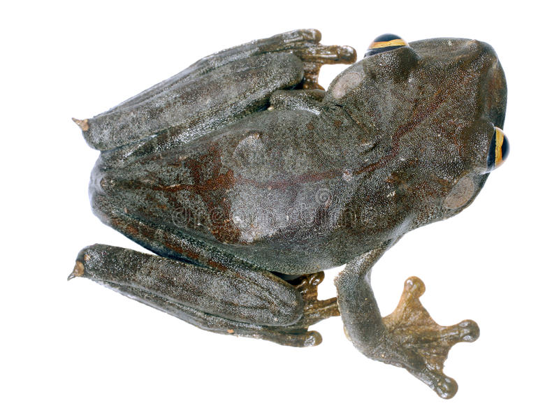 Map Treefrog Royalty Free Stock Images