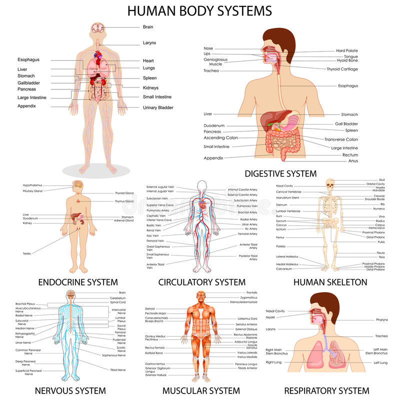 Mapa różny Ludzkiego organu system ilustracji