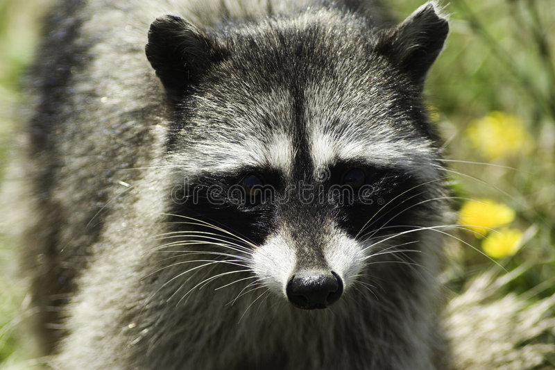 Download Mapache foto de archivo. Imagen de animal, procyon, nocturnal - 179326