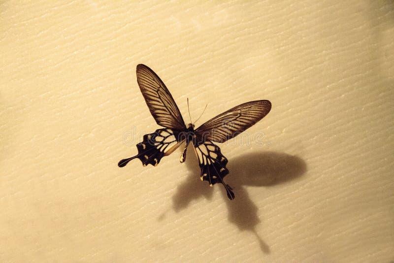 Mapache de Losaria de la mariposa del mapache de Atrophaneura fotografía de archivo libre de regalías