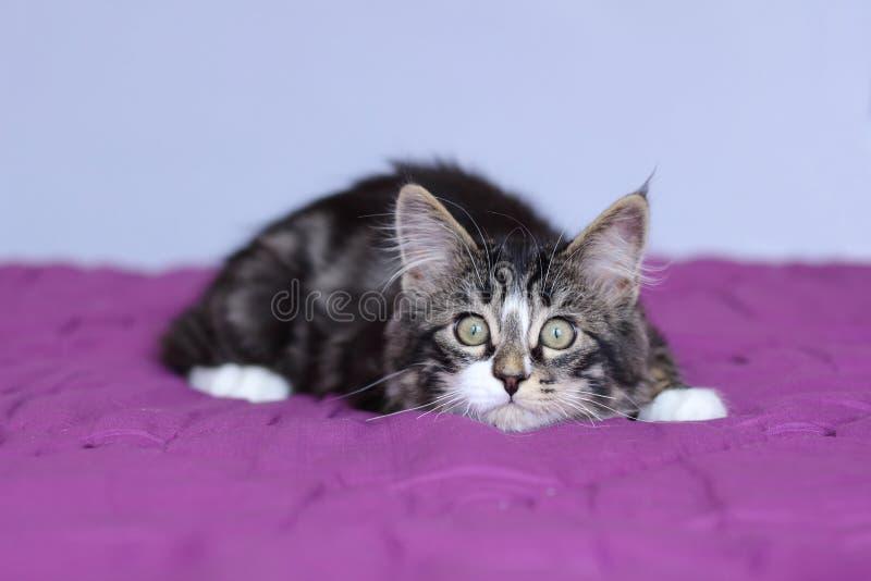 Mapache de Maine del gatito del color gris rayado que supervisa su presa en la posición de mentira imagenes de archivo
