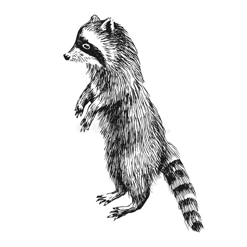 Mapache dibujado mano ilustración del vector