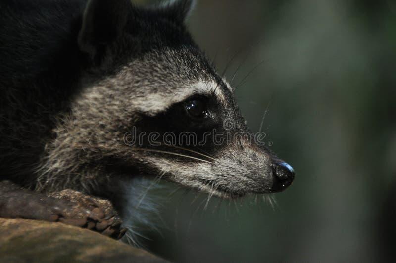 Mapache, el animal doméstico que despide en Manuel Antonio National Park en Costa Rica fotografía de archivo libre de regalías