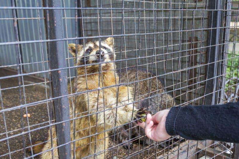 Mapache en el parque zoológico del Limpopo Nizhny Novgorod, Rusia fotos de archivo libres de regalías