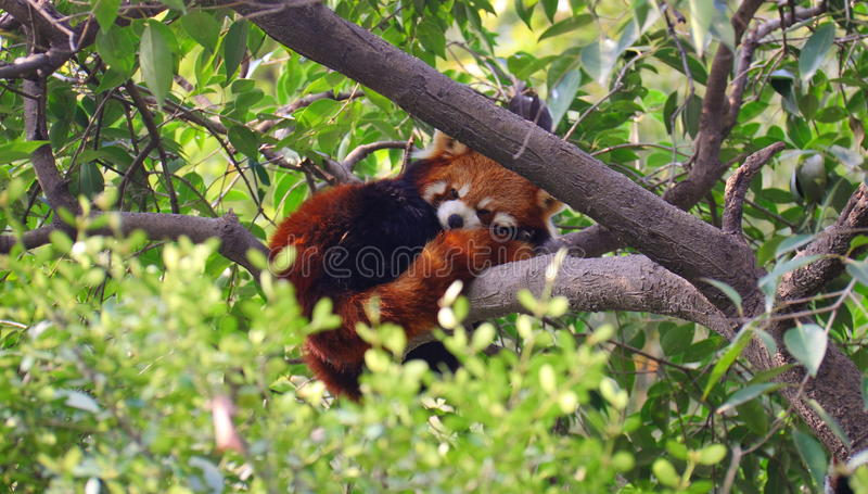 Mapache que duerme en los árboles foto de archivo