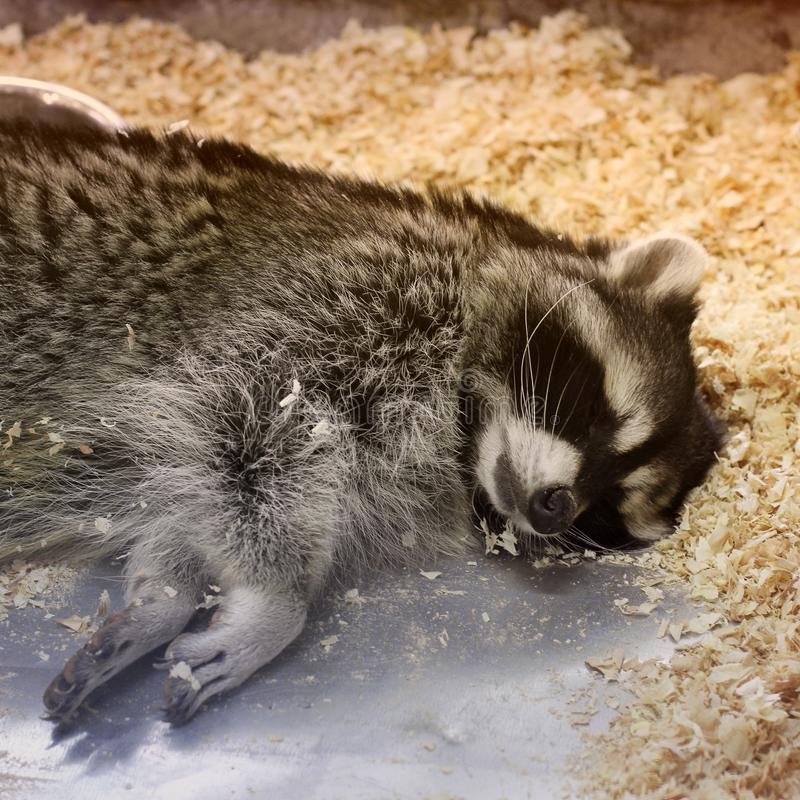 Mapache que duerme en una jaula imagenes de archivo