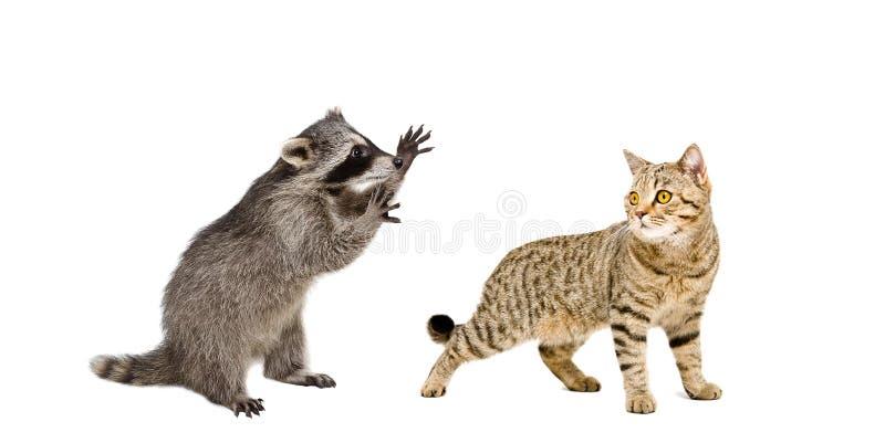 Mapache y gato juguetones fotografía de archivo
