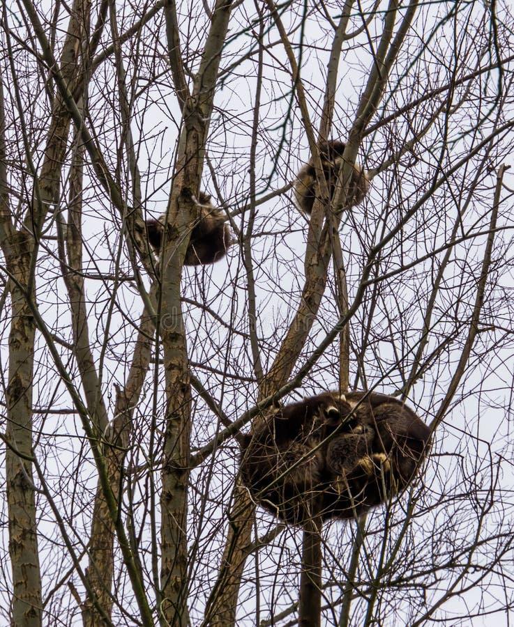 Mapaches comunes que duermen arriba para arriba en algunos árboles en el tiempo del día, un par del mapache que descansa cerca ju imagen de archivo