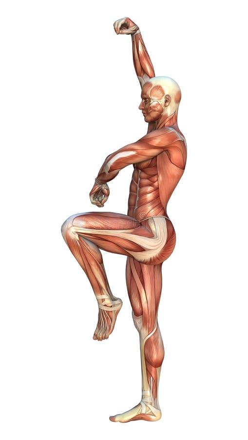 Mapas do músculo ilustração stock