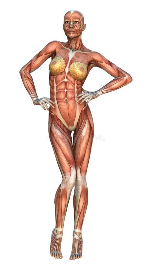 Mapas do músculo ilustração do vetor