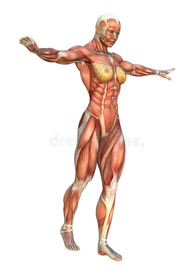 mapas do músculo da rendição 3D ilustração stock
