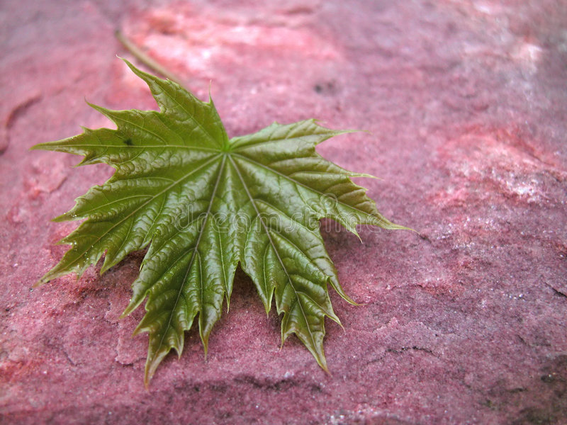 Download Maple stock photo. Image of sand, summer, spring, leaves - 120034
