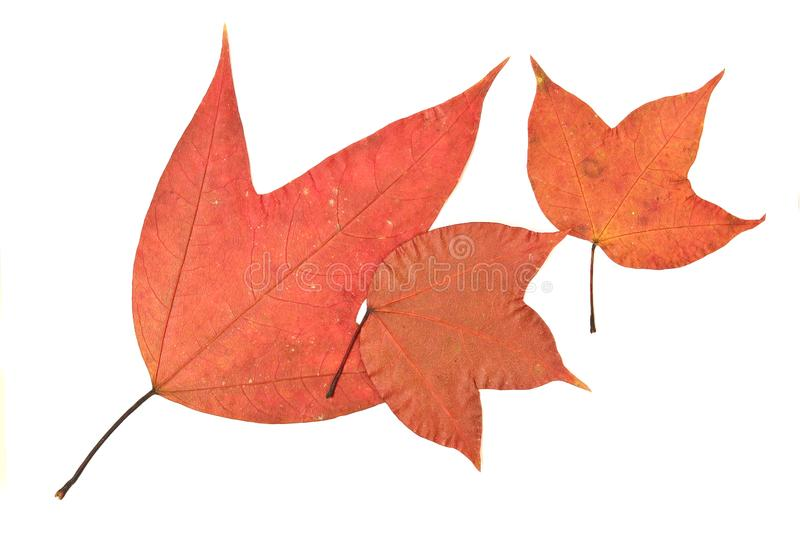 Download Maple stock image. Image of isolated, autumn, leave, background - 24734315
