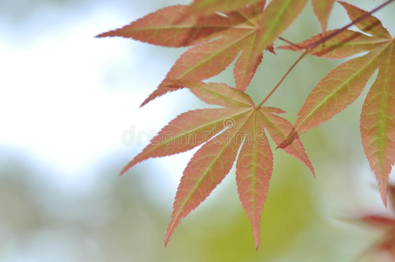 Download Maple stock image. Image of macro, branch, maple, background - 26348257