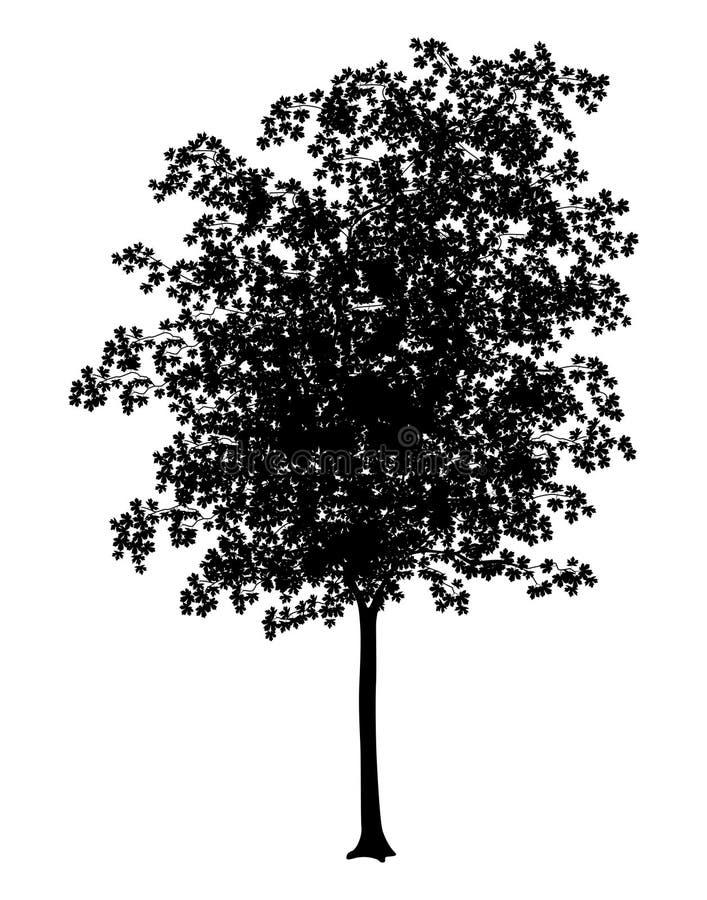 Maple stock illustration