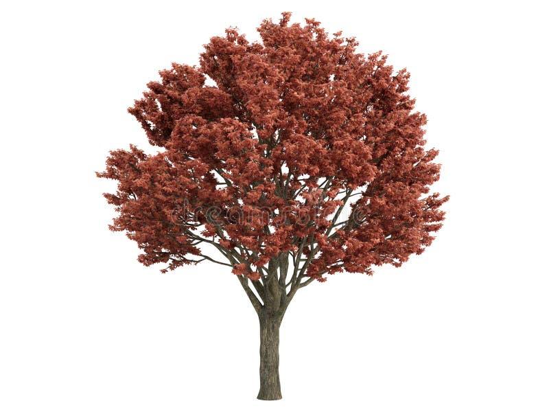 Maple_ (Acer_griseum) ilustração stock