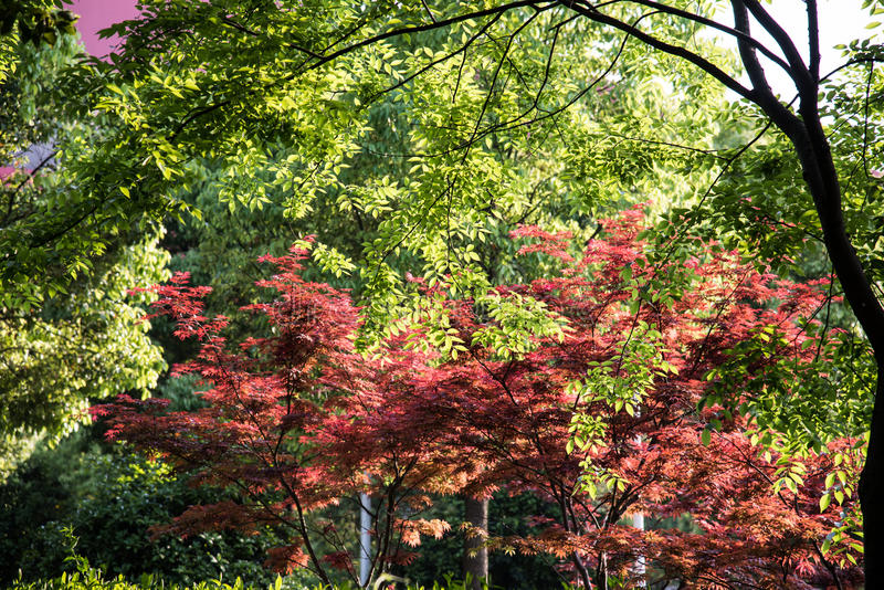 Maple(Acer palmatum Thunb) tree stock photo