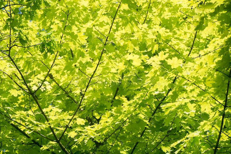Maple acer Princeton Gold leaves background. Maple acer Princeton Gold spring leaves background royalty free stock images