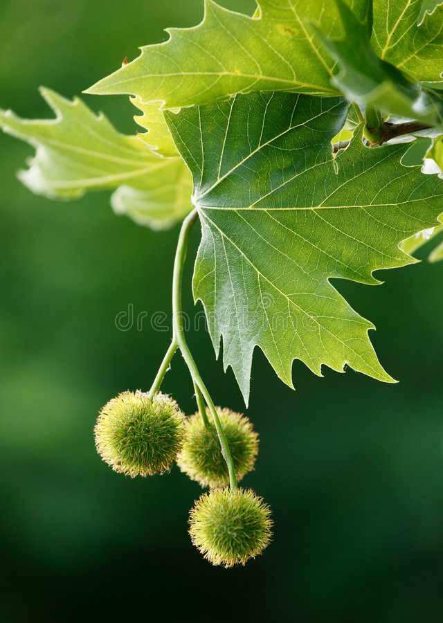 Download Maple acorns stock photo. Image of branch, plant, forest - 844224