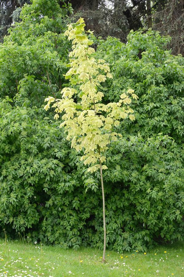 The maple acutifoliate Acer platanoides Drummondii grows in the park.  royalty free stock photography