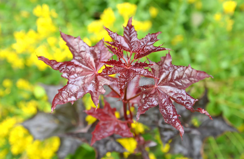 Maple acutifoliate Crimson King (Acer platanoides Crimson King), young plant. Spring royalty free stock photography