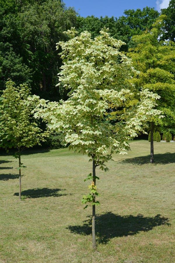 Maple acutifoliate Drummonda (Acer platanoides Drummondii).  stock photo