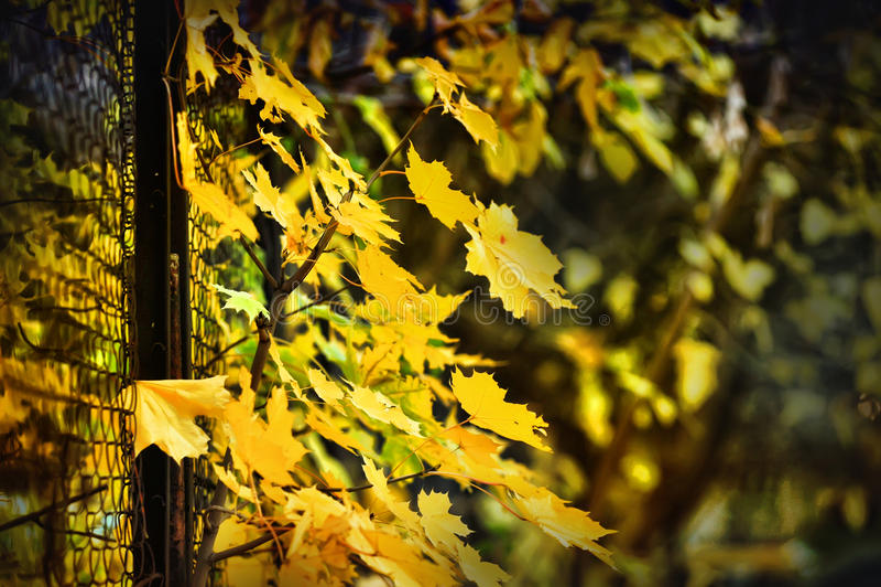 Maple autumn background. Yellow autumn maple leaves background royalty free stock photos