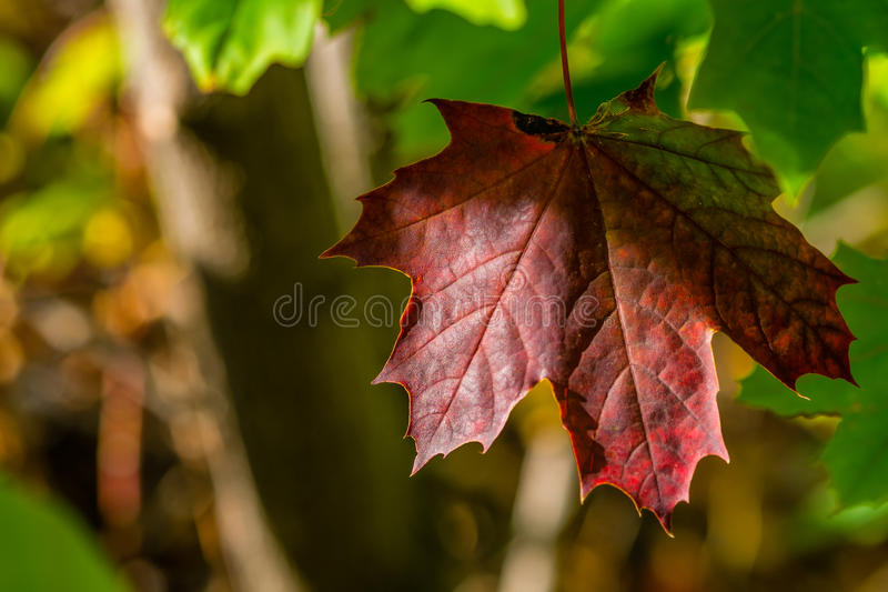 Maple autumn leaves stock photo