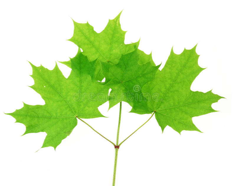 Download Maple barb with foliage stock image. Image of background - 14309635