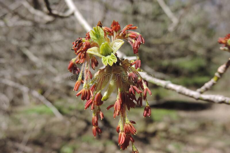 A Maple Blossoms closeup in Toronto royalty free stock photography