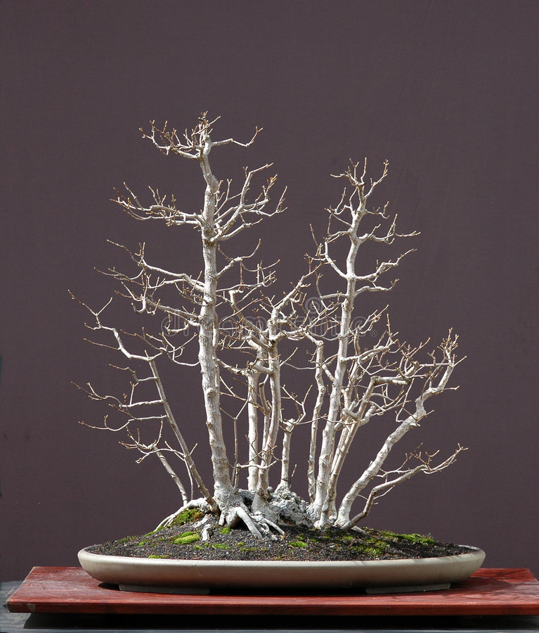 Maple bonsai, clump style. European field maple, Acer campestre, 90 cm high, around 40 years old, from old garden tree, styled by Walter Pall, pot by Derek stock photography