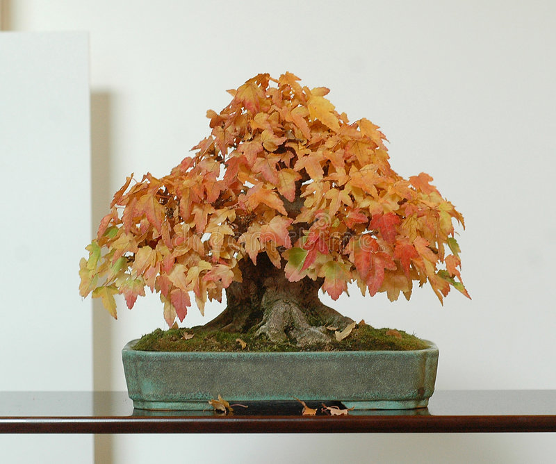 Maple bonsai in fall color stock image