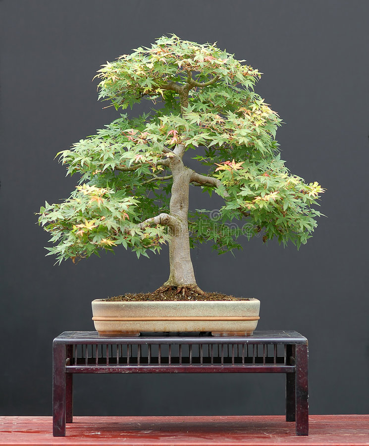 Download Maple bonsai in summer stock image. Image of green, palmatum - 1684953