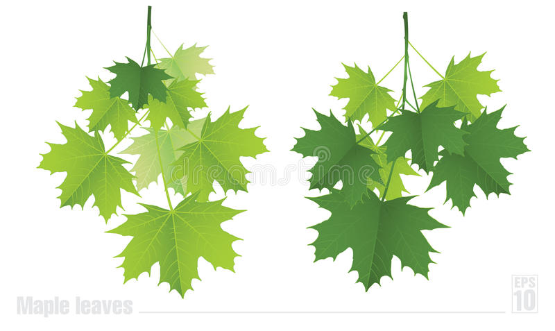 Maple branch with green leaves on a white royalty free illustration