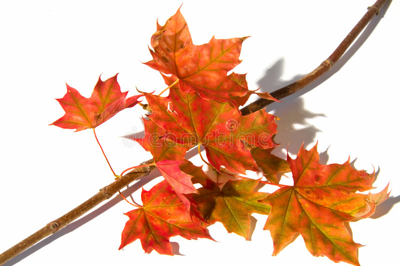 Download Maple Branch With Leafs Stock Photo - Image: 6236080