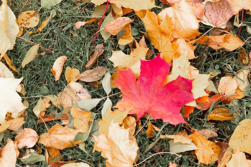 Maple bright red leaf on a background of green grass yellow fallen leaves design autumn stock images