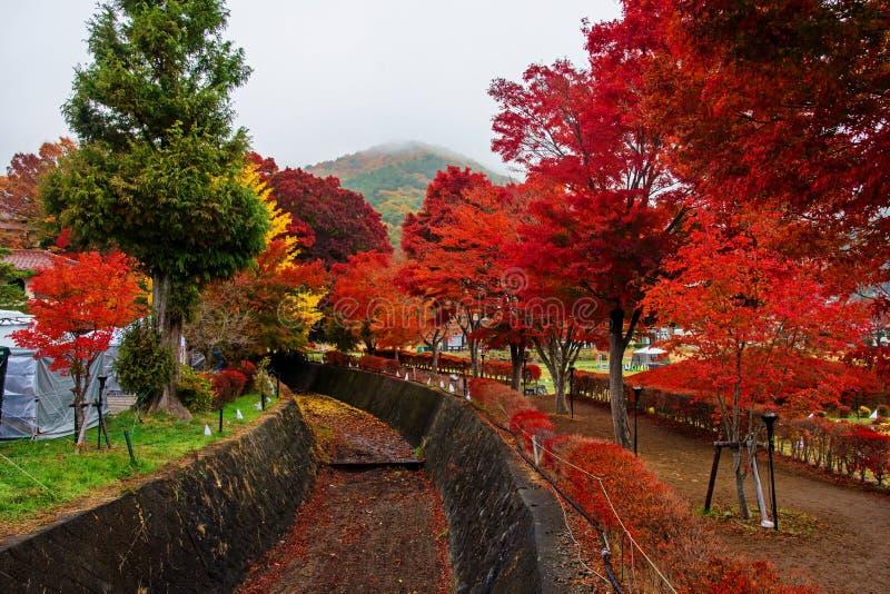 maple corridor at autumn in Kawaguchiko stock photos