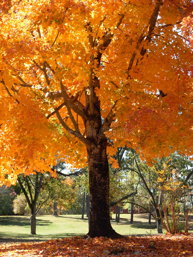 Maple in Fall royalty free stock photography