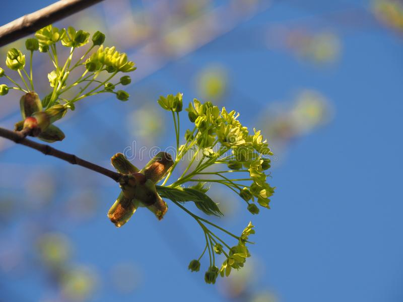 Maple flowers blossom in spring. Spring is the time of awakening of nature, the sun shines brightly in the blue sky, leaves bloom on the trees.nIn early spring royalty free stock photography