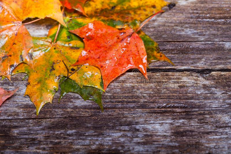 Maple foliage on the able. Colorful maple foliage on the vintage wooden table stock photo