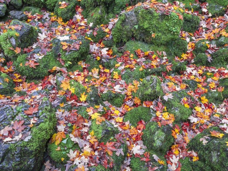 Maple Foliing en couleur contraste avec les pierres de mousse photos libres de droits