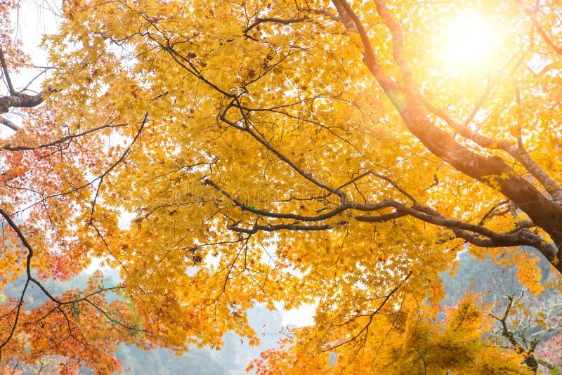 Maple golden yellow tree sunlight through in Japan autumn nature foliage stock photos