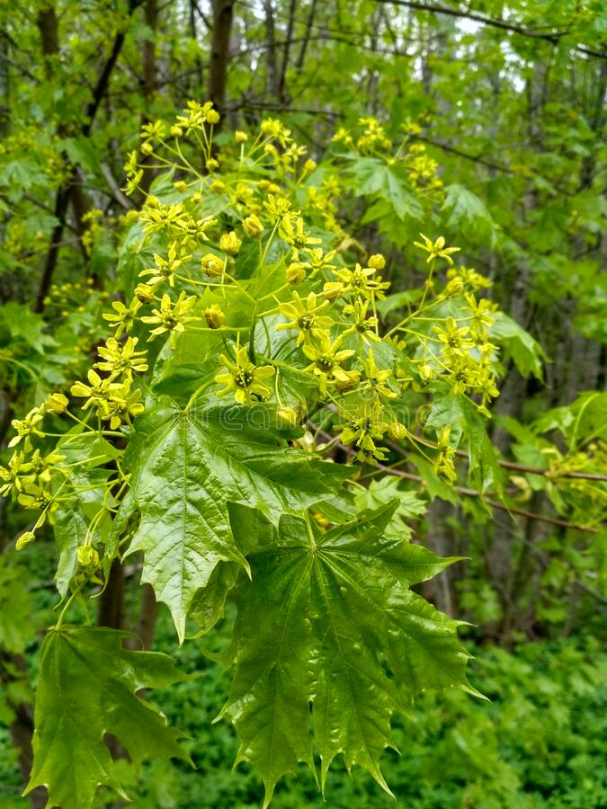 Maple & x28;lat. Acer platanoides& x29; yellow flowers and green leaves in a cloudy spring day stock photography