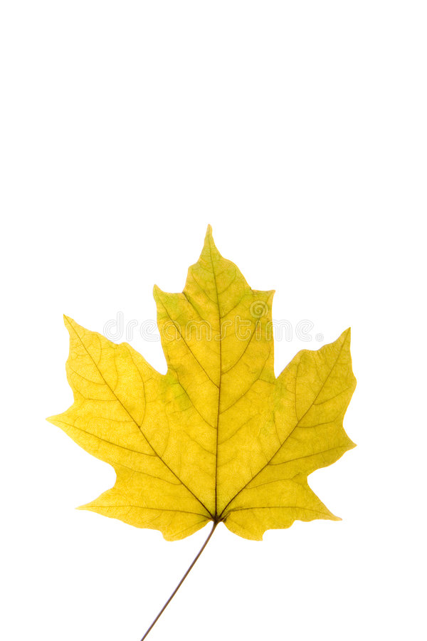 Download Maple Leaf stock image. Image of leaves, seed, life, cold - 1517805