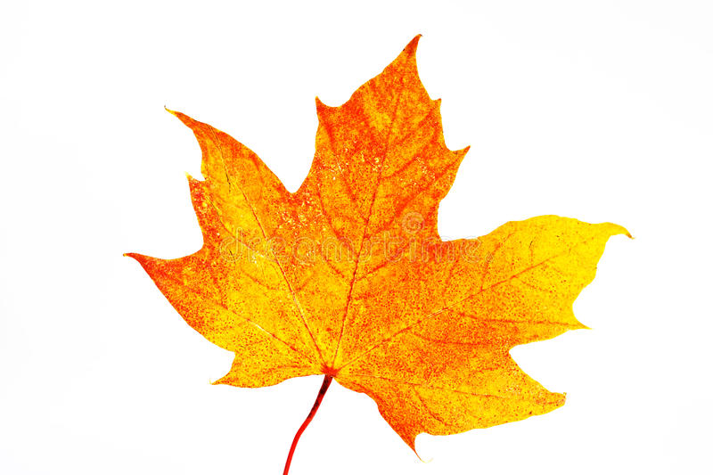 Download Maple leaf stock image. Image of flag, canada, maple - 21936111
