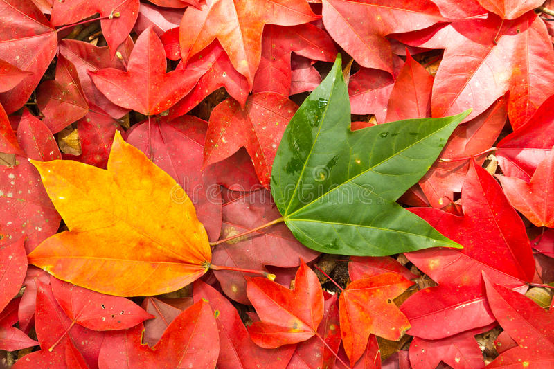 Download Maple leaf stock image. Image of outdoor, nature, bright - 22311307